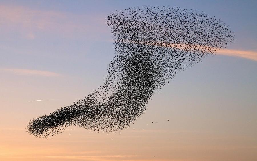 Flock of birds | Image credits: hdanimalswallpapers.com